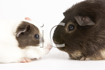 Royalty Free Photo of Two Guinea Pigs Face to Face