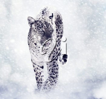 Digital Painting Of Leopard Walkind in the Snow