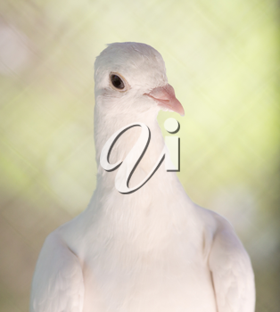 beautiful white dove in nature