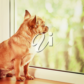 Red Chihuahua Dog Standing on Window Sill and Looks into Distance. With Retro Effect Filter.
