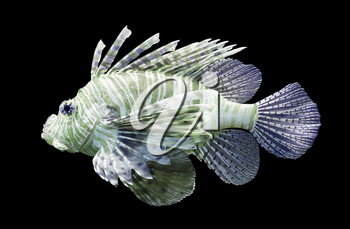 Pterois volitans, Lionfish - Isolated on black - Purple and green