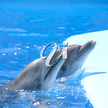 Two dolphins at dolphinarium pool